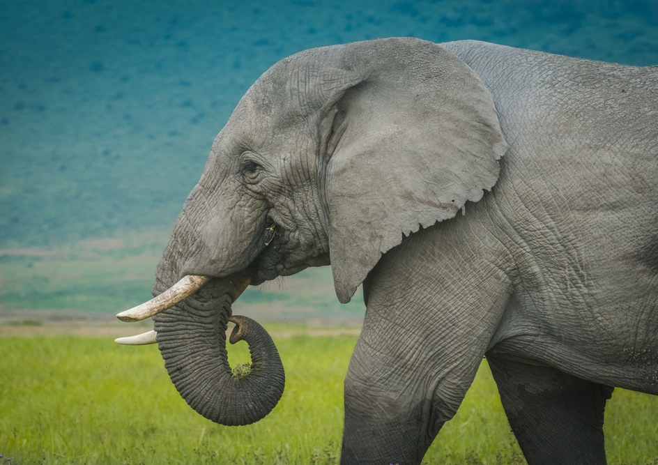 Elephants are unique animals who are important members of their ecosystems. It is because of this that their population numbers are closely monitored.
