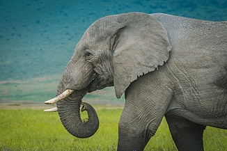 How Many Elephants Live in Africa?